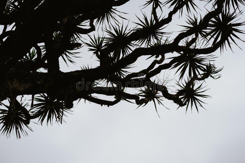 Silhueta da bruxa velha da árvore de dragão no fundo cinzento do céu Santo Antao, Cabo Verde Cabo Verde fotografia de stock