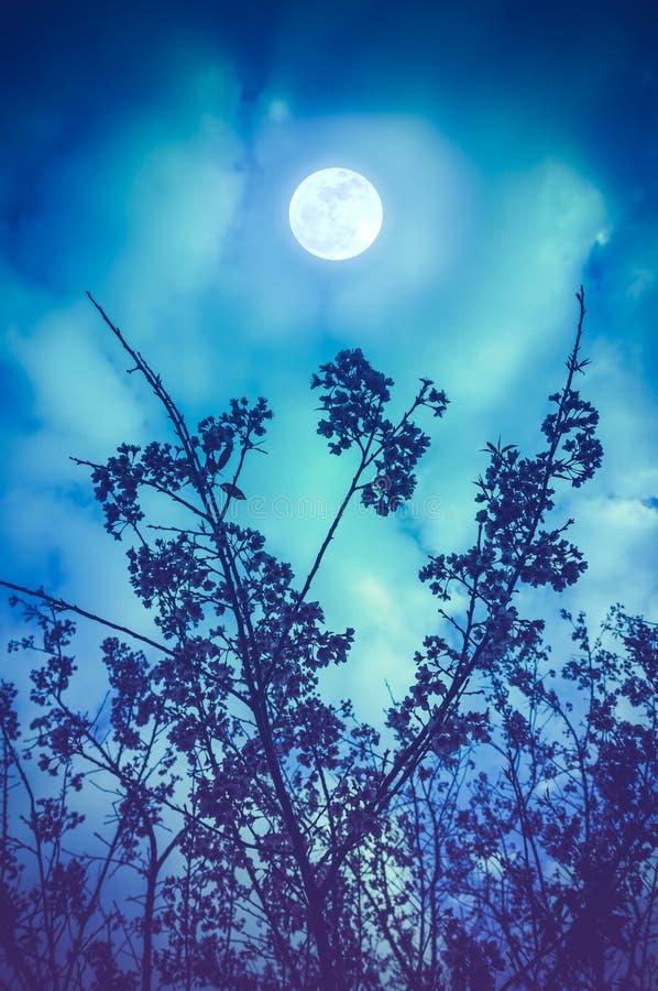 A silhueta da cereja Himalaia selvagem floresce contra o céu noturno fotos de stock royalty free