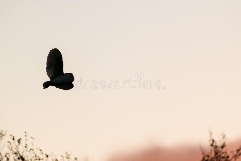 Silhueta da coruja de celeiro selvagem que caça no por do sol no habitat natural imagem de stock royalty free