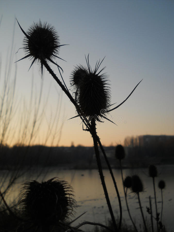 Silhueta da flor do cardo no céu do por do sol fotos de stock