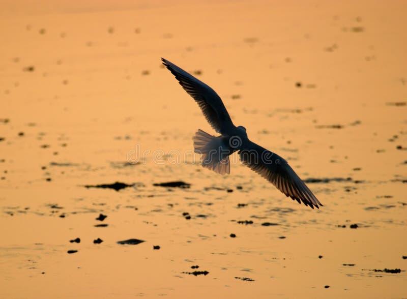 Silhueta da gaivota imagem de stock