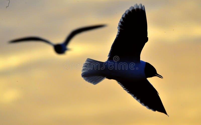 A silhueta da gaivota do voo imagens de stock
