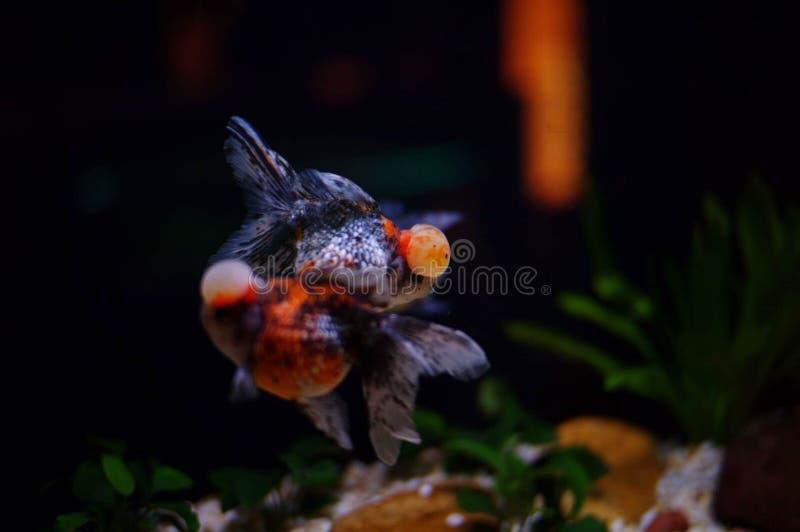 Silhueta da menina asiática que toca no vidro do aquário fotos de stock