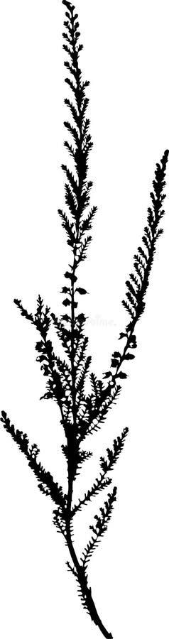 Silhueta da urze comum (Calluna vulgar) ilustração royalty free