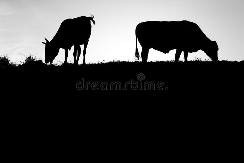 Silhueta da vaca em preto e branco imagem de stock royalty free