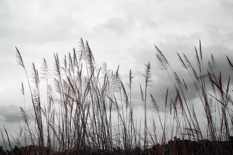 Silhueta das flores longas superiores da grama verde no fundo do céu com nebuloso branco imagens de stock