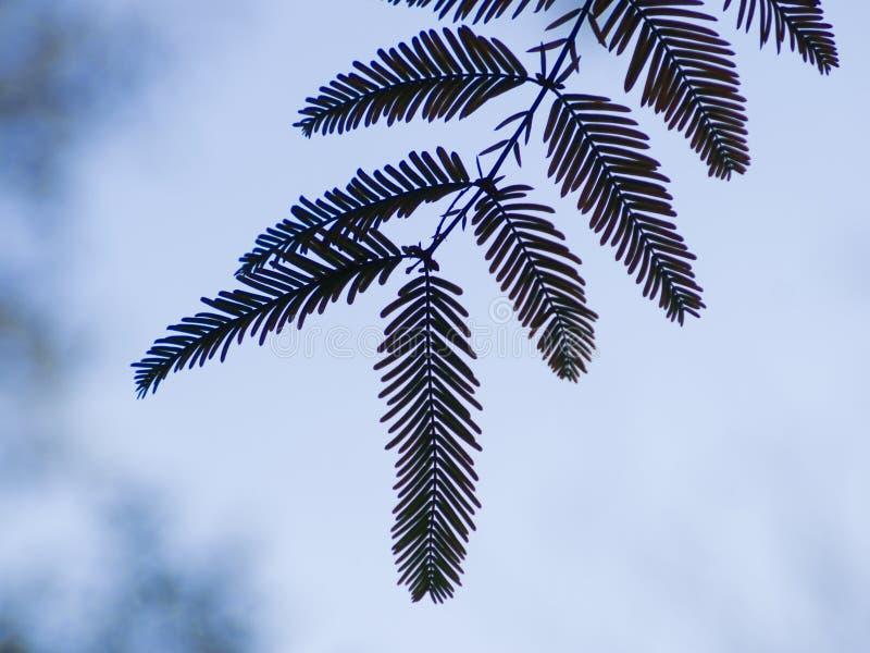 Silhueta das folhas contra o céu fotografia de stock