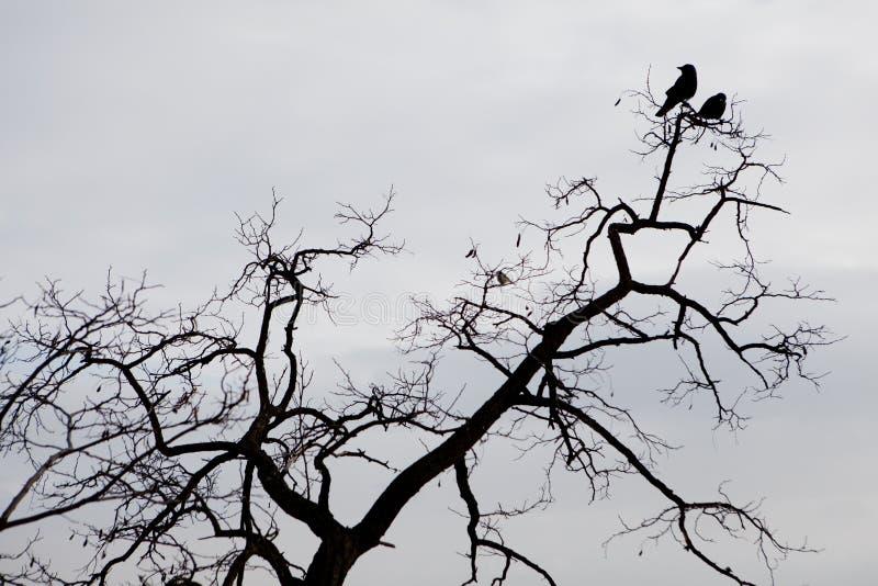 Silhueta de dois corvos que sentam-se em um branche da árvore imagem de stock royalty free