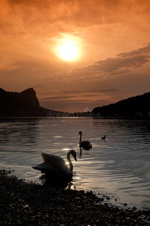A silhueta de duas cisnes em um lago antes do por do sol em um lago dentro fotos de stock royalty free