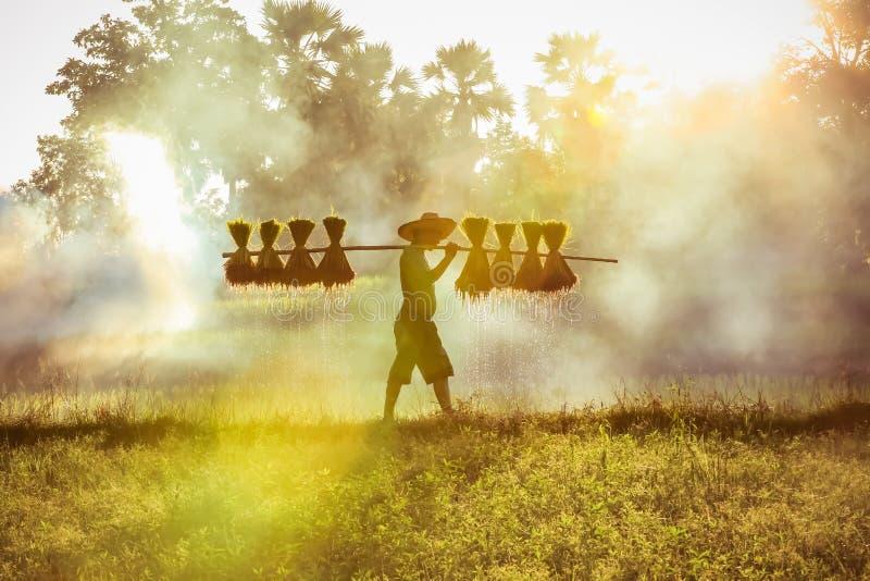 Silhueta de fazendeiro asiático cultivando mudas de arroz para plantar fotos de stock royalty free