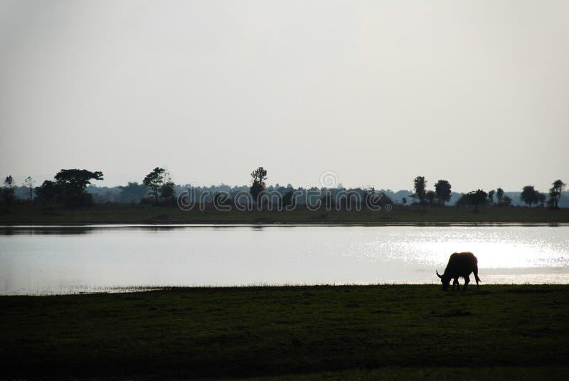 Silhueta de um búfalo que come no campo perto do rio imagem de stock
