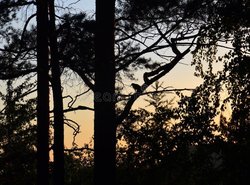 A silhueta de um corvo preto em um ramo de árvore imagem de stock