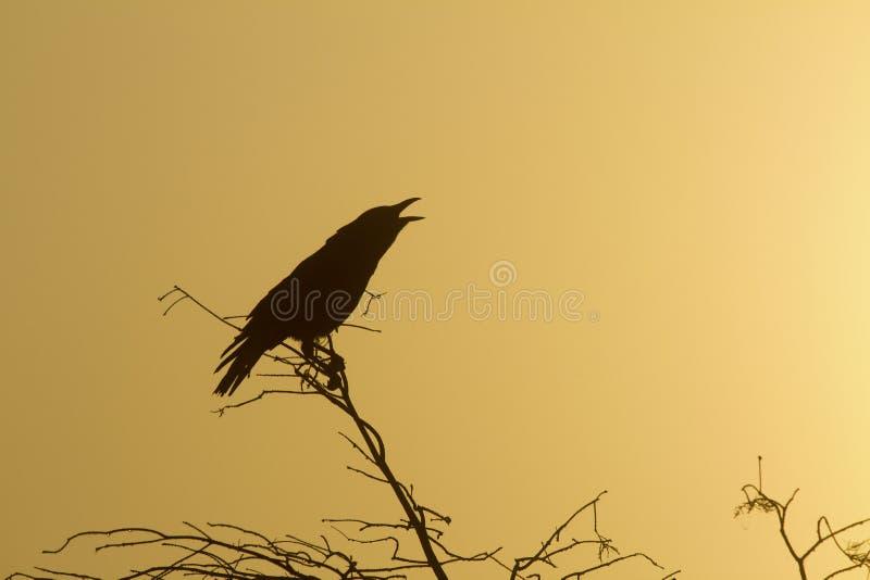 Silhueta de um corvo fotografia de stock royalty free