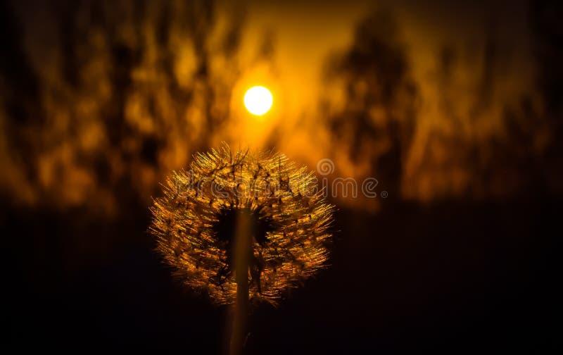 Silhueta de um dente-de-le?o Por do sol atrás do dente-de-leão brilhante imagem de stock