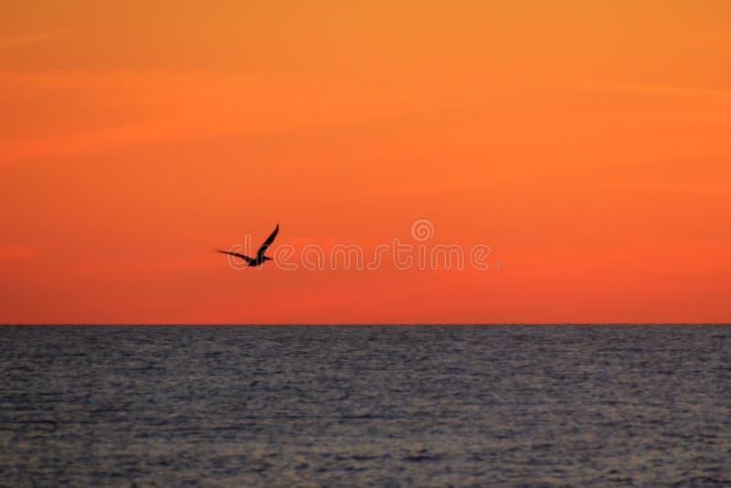Silhueta de um pelicano no por do sol foto de stock
