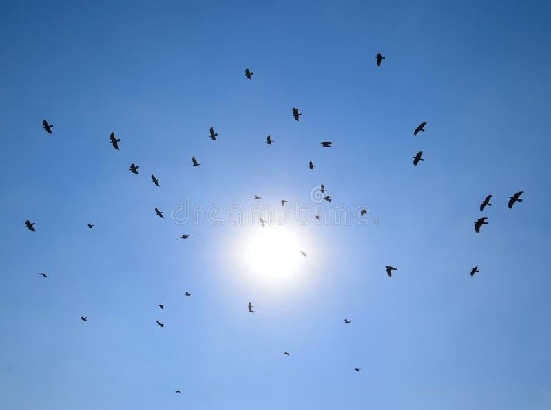 Silhueta de um rebanho do voo do melro através de um céu surreal da noite com um sol impetuoso fotografia de stock