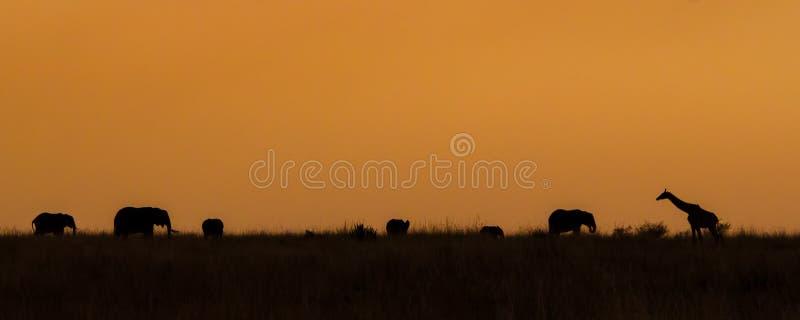 A silhueta de uma família dos elefantes e do um girafa que andam através do savana no por do sol foto de stock royalty free