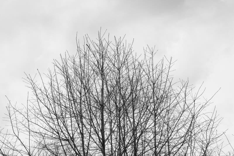 Silhueta de uma parte superior desencapada da árvore contra um céu sombrio do dia de inverno foto de stock