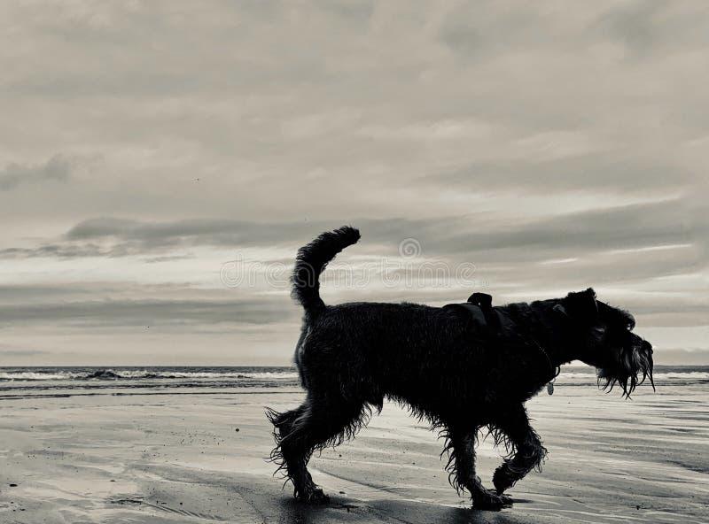 Silhueta do cão do Schnauzer diminuto na praia fotos de stock royalty free