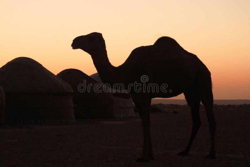Silhueta do camelo imagem de stock