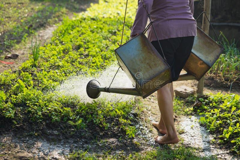 Silhueta do campo vegetal das águas asiáticas da mulher do fazendeiro fotografia de stock royalty free