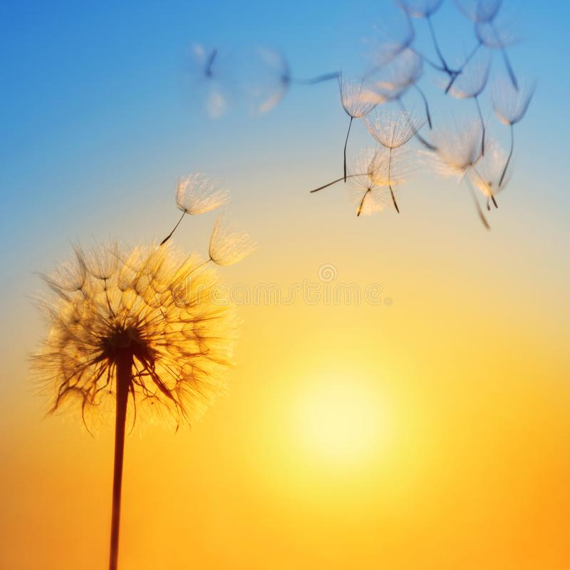 Silhueta do dente-de-leão contra o contexto do sol de ajuste foto de stock