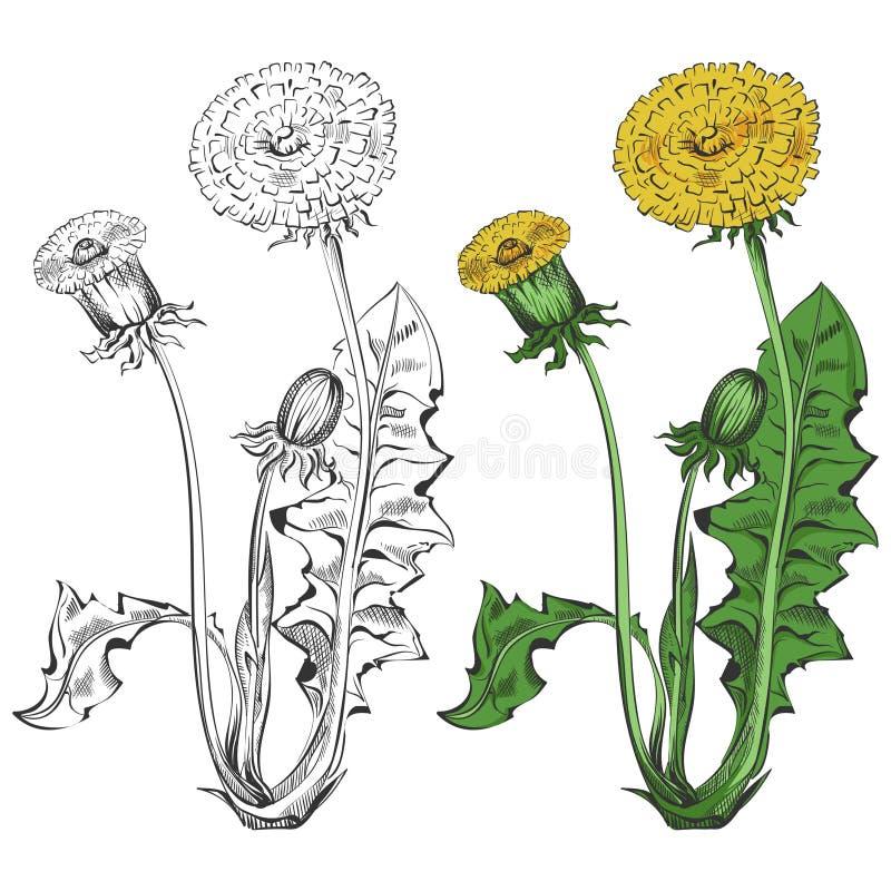 Silhueta do dente-de-leão e amostra colorida isoladas no fundo branco ilustração stock