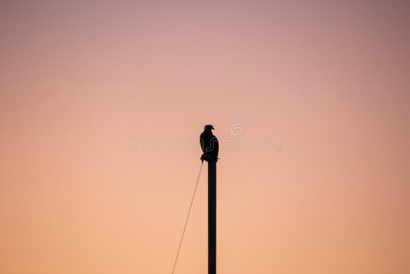 Silhueta do falcão que senta-se sobre o mastro do veleiro durante o por do sol fotografia de stock royalty free