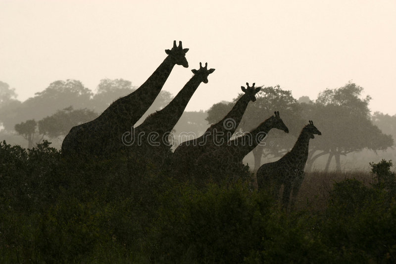 Silhueta do Giraffe fotografia de stock royalty free