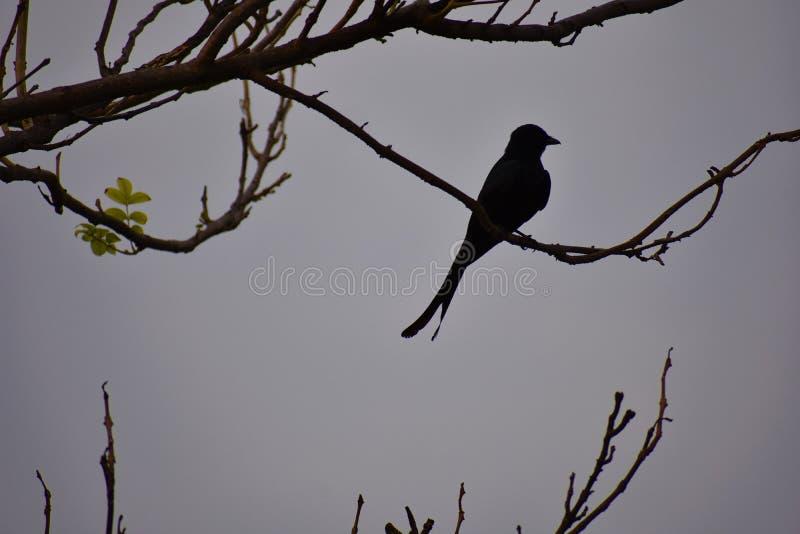 Silhueta do pássaro atado forquilha do drongo fotografia de stock royalty free