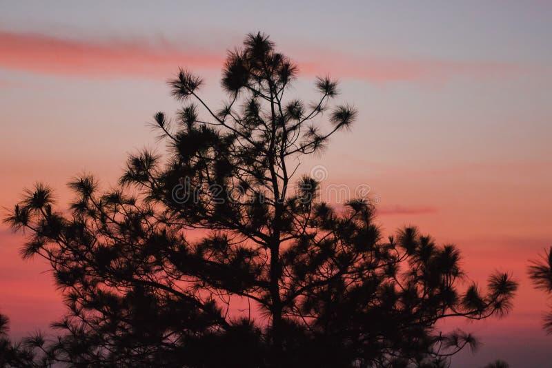 A silhueta do pinheiro fotografia de stock