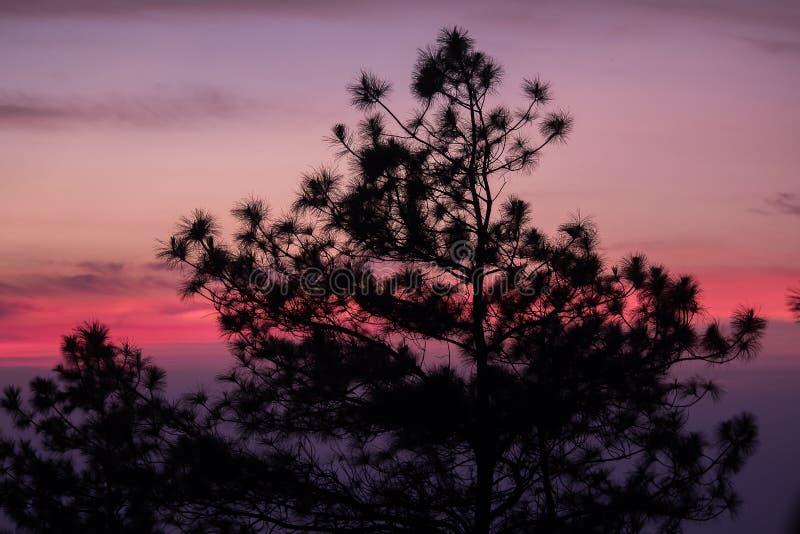 A silhueta do pinheiro imagem de stock royalty free