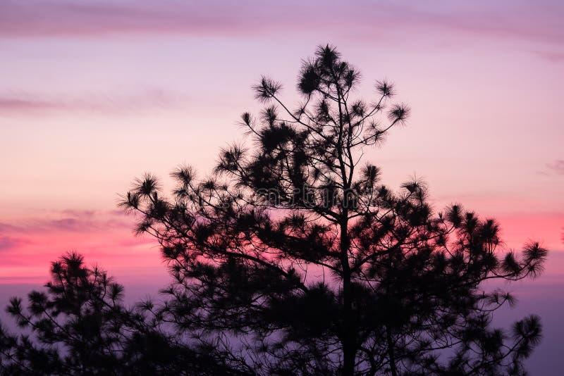 A silhueta do pinheiro fotos de stock royalty free