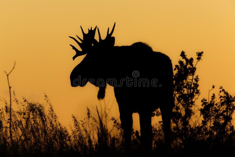 Silhueta do por do sol dos alces de Bull imagem de stock royalty free