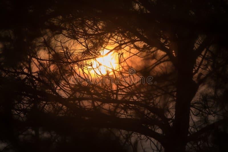 A silhueta do ramo de pinheiro foto de stock