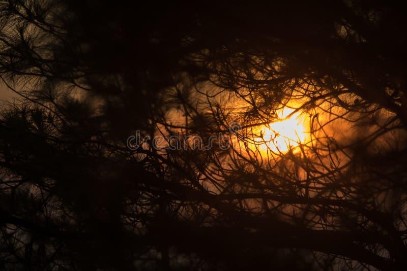A silhueta do ramo de pinheiro fotos de stock