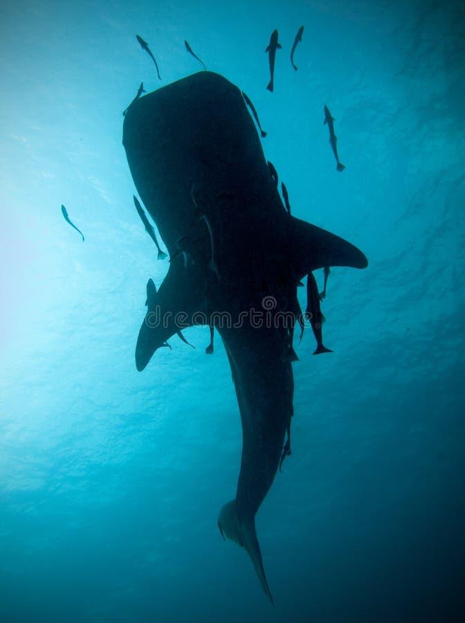 Silhueta do tubarão de baleia fotos de stock royalty free