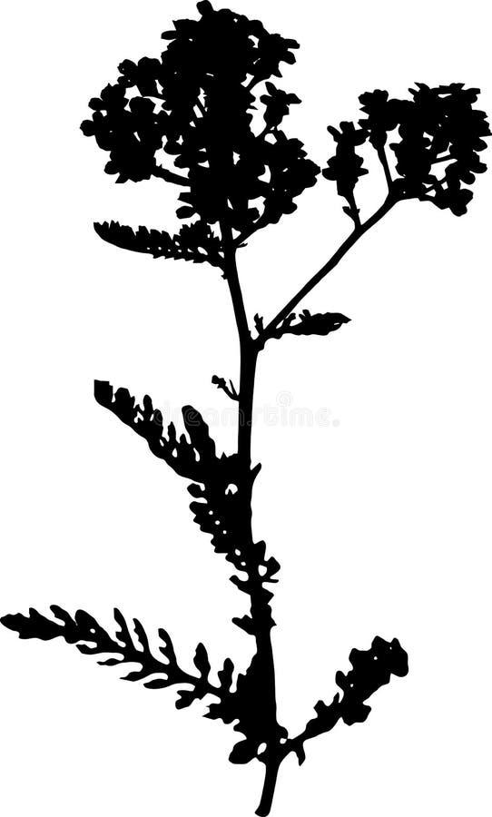 Silhueta do yarrow do jardim ilustração stock