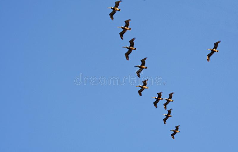 Silhueta e fotos do voo dos pássaros fotografia de stock royalty free