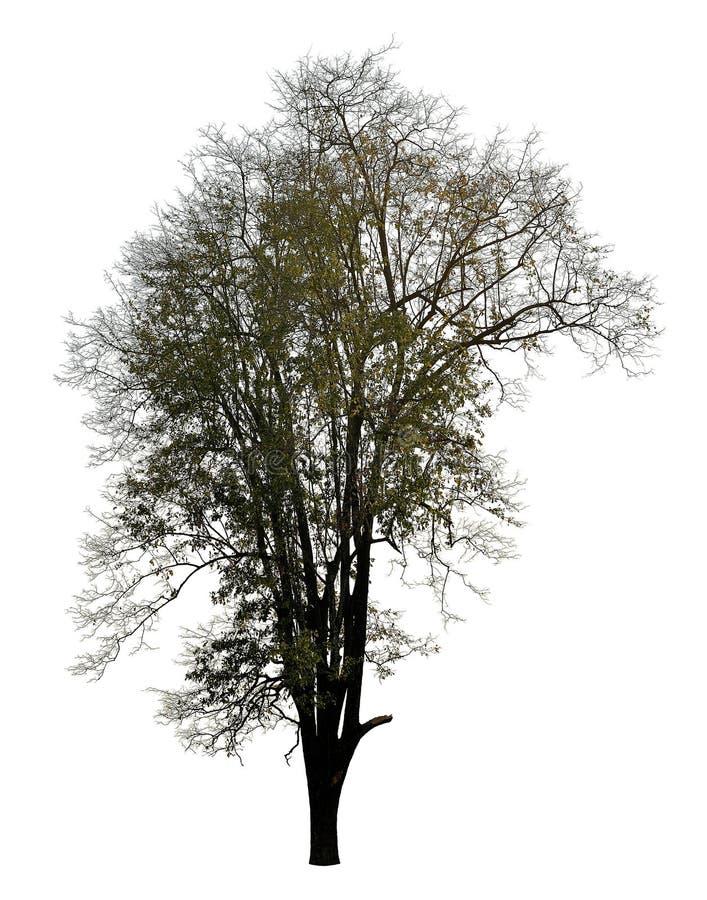 Silhueta leafless preta da foto da árvore no branco fotos de stock