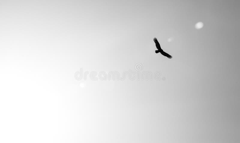 Silhueta preto e branco do abutre de turquia fotos de stock