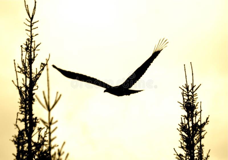Silhueta subindo da águia imagens de stock