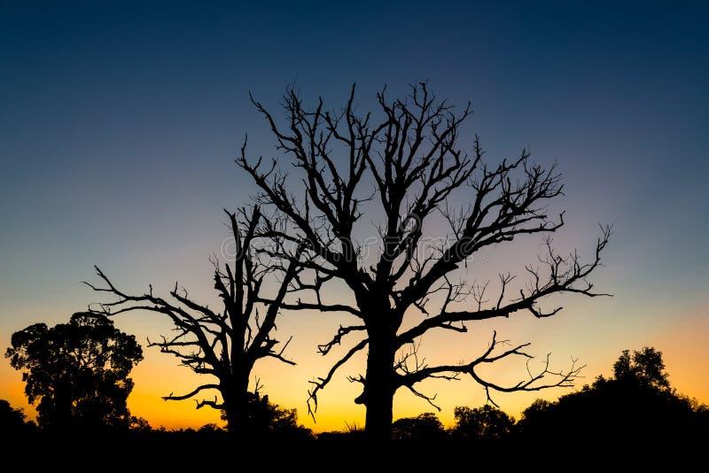 Silhuetas da árvore do susto com fundo do por do sol foto de stock