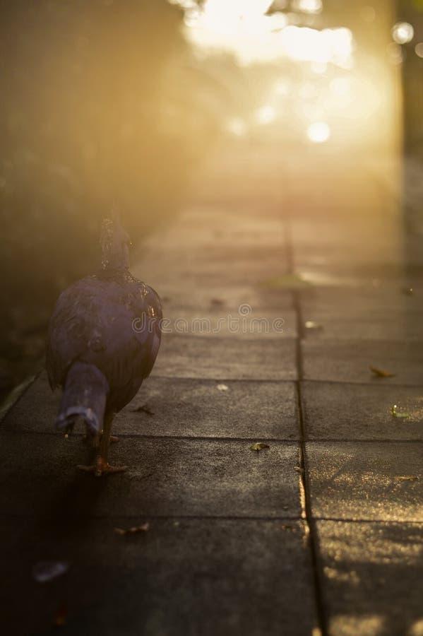 Silhuetas da pomba ou do pombo de passeio só no céu de incandescência vermelho do por do sol Calma da nuvem da vista com reflexão fotos de stock royalty free