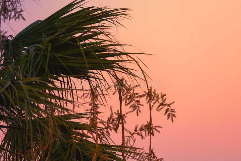 Silhuetas das folhas de palmeira sobre o céu brilhante da noite foto de stock