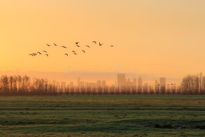 Silhuetas de um rebanho dos gees que voam no nascer do sol na frente da skyline de Rotterdam imagens de stock royalty free