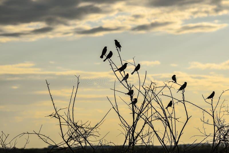 Silhuetas do fim preto dos pássaros da tarde foto de stock royalty free