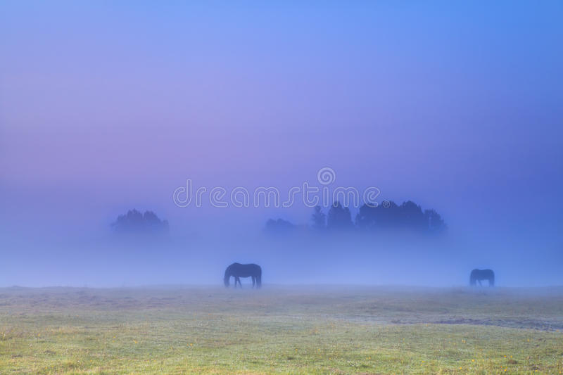 Silhuetas dos cavalos na névoa densa que pasta imagens de stock