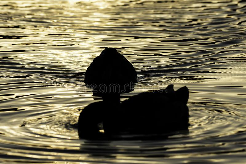 Silhuetas dos patos que flutuam no lago durante a hora dourada fotos de stock royalty free