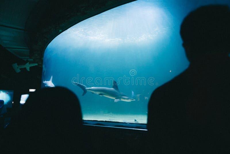 Silhuetas dos povos que olham um tubarão em um grande aquário imagem de stock royalty free